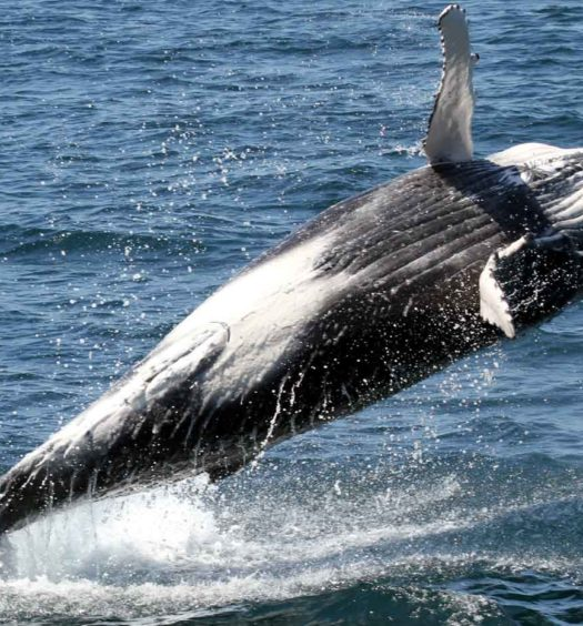 Calf Breaching - Whale Watching Experience