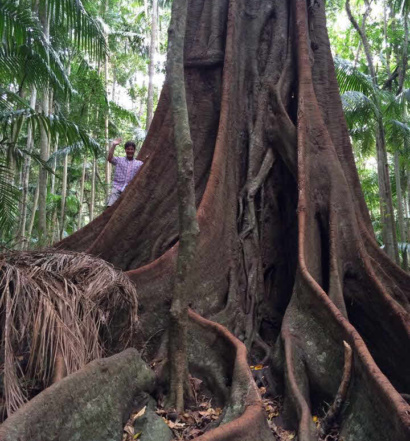 Man dwarfed by huge fig tree in Witches Falls section Tamborine National Park