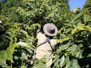 Male Guide leading a Tamborine Mountain Coffee Plantation Tour
